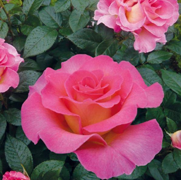 Роза мондиаль: описание сорта, посадка и уход