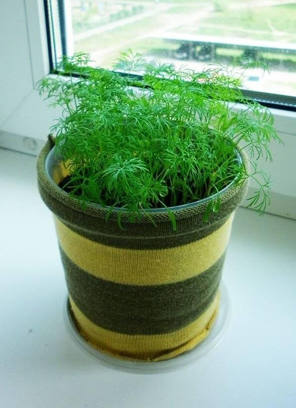 Укроп на подоконнике: как выращивать - подробная инструкция от а до я!