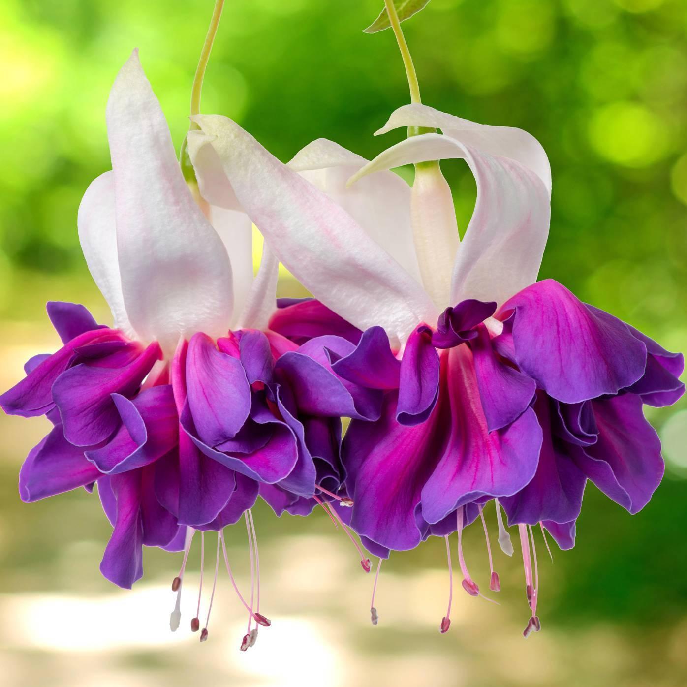 Виды и сорта фуксии (46 фото): «анабель» и «балерина», deep purple, «наташа синтон» и voodoo, blue angel и lenny erwin, другие