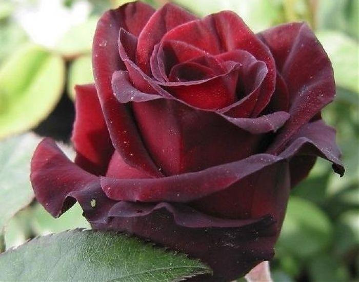 Лучшие сорта роз по цветам | о розе