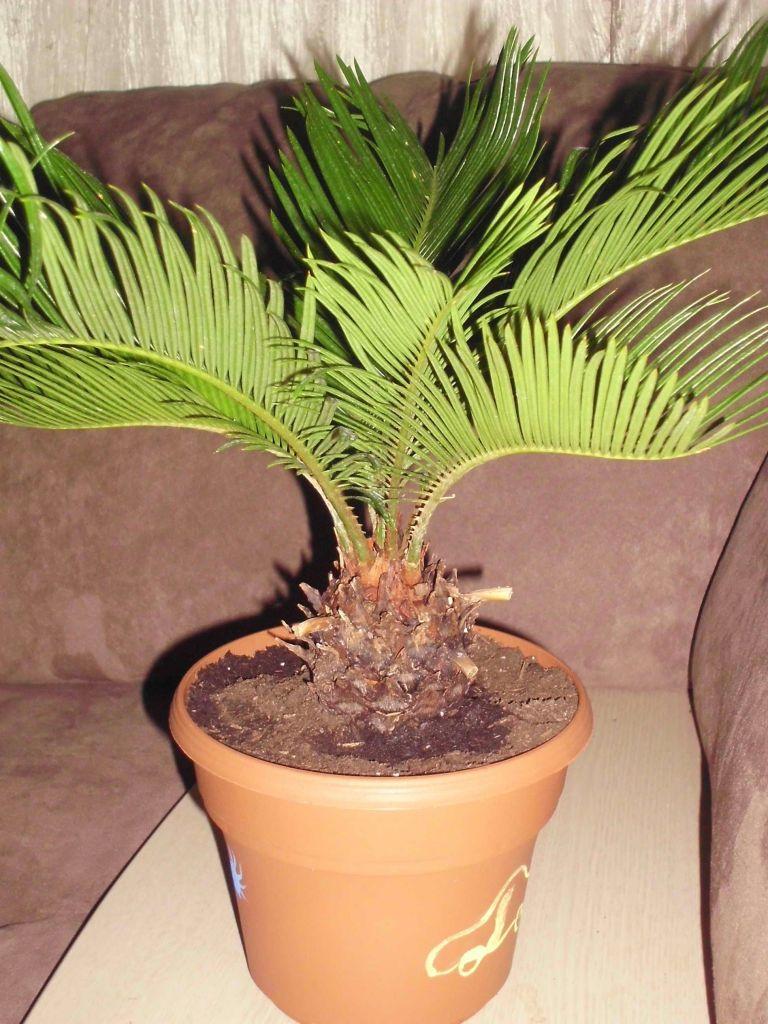 Цикас, или саговник: все нюансы ухода за цветком в домашних условиях + фото и видео