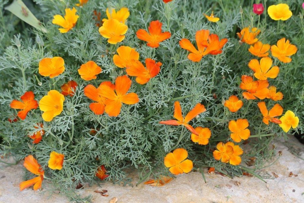 Как правильно и когда необходимо сажать эшшольцию при выращивании из семян?