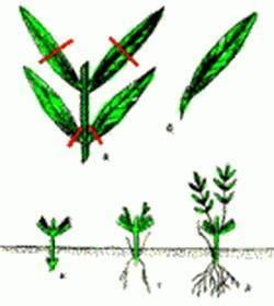 Как размножить флоксы?