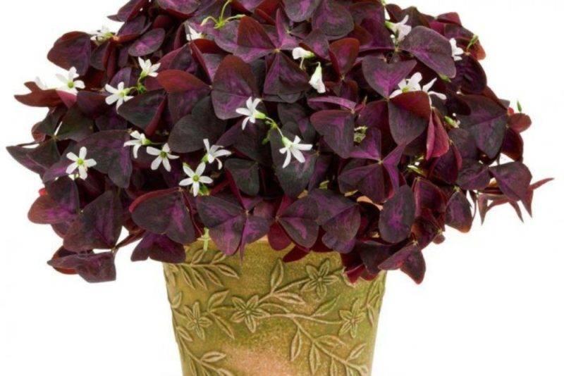 Цветок кислица: уход в домашних условиях