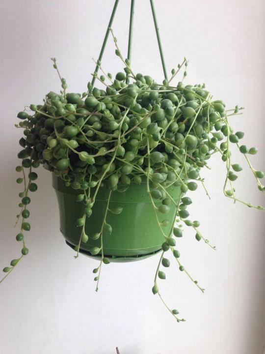 Крестовник роули senecio rowleyanus — что за цветок