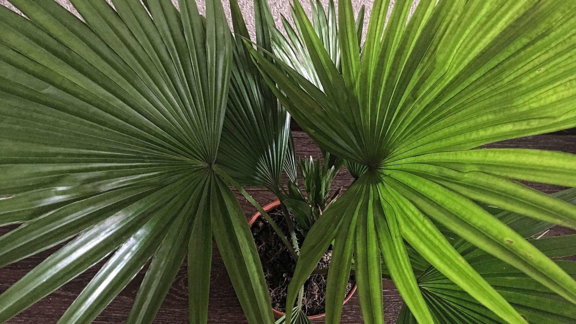 Пальма ливистона ротундифолия - уход в домашних условиях