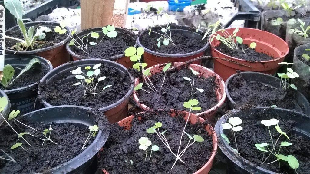 Выращивание аквилегии: когда сажать на рассаду, посадка и уход, размножение