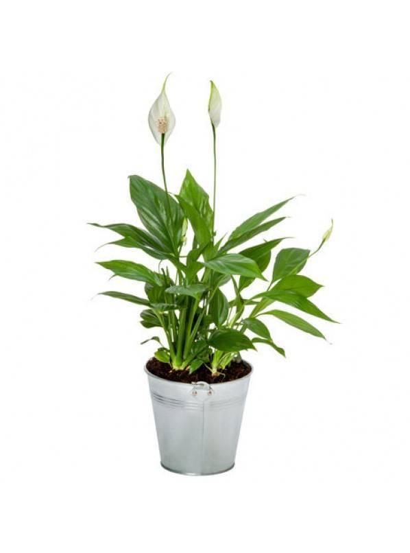 Интересный цветок спатифиллум пикассо: описание и нюансы выращивания