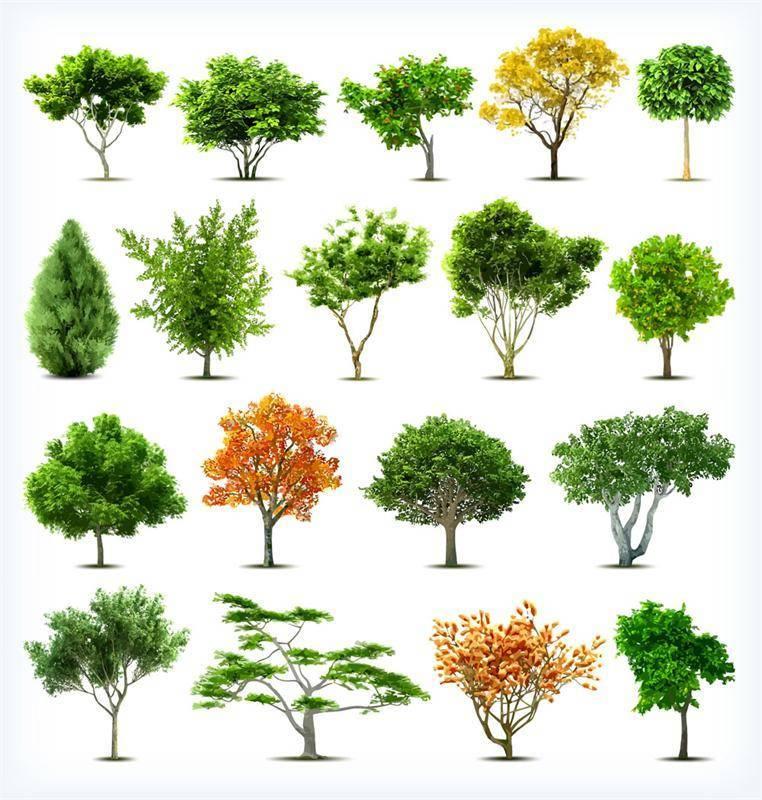 Хвойные деревья россии: самые распространенные виды