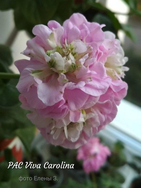 Пеларгония вива: розита, маделина и каролина, особенности сорта пак семейства гераниевых и фото распространенных видов, советы по выращиванию и уходу за растением