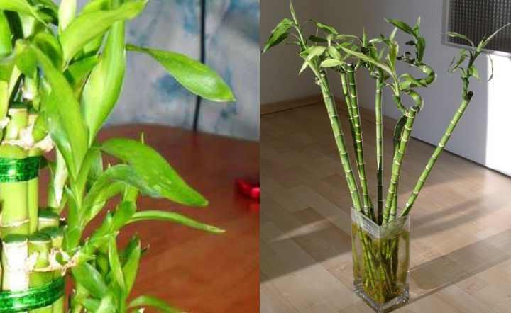 Растение драцена сандера в форме спирали: фото, размножение, болезни и уход за драценой сандера