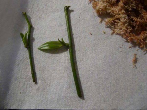 Как размножить орхидею в домашних условиях? 23 фото как рассадить орхидею пошагово? как разделить луковицы? можно ли ее вырастить из листа?