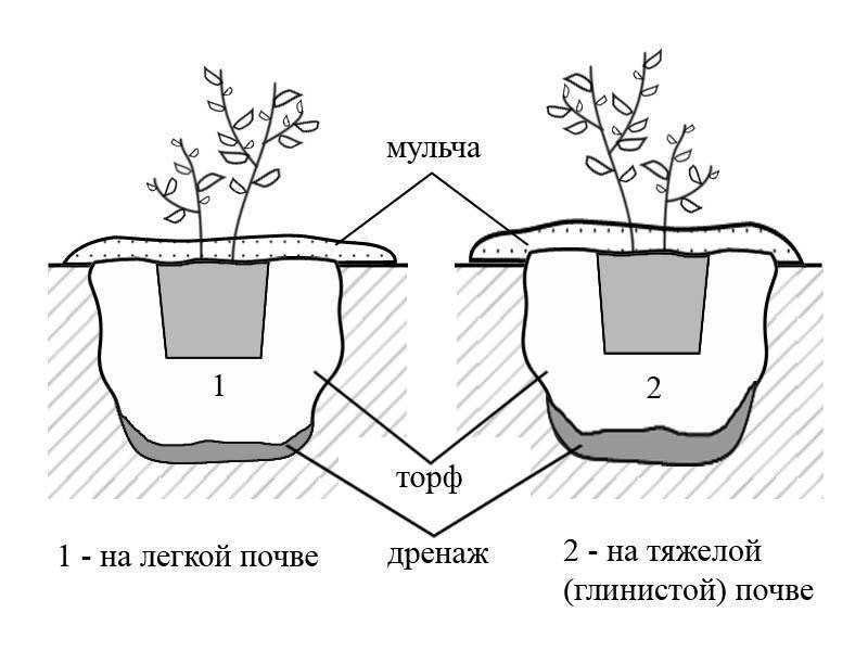 Мискантус: виды и сорта, условия выращивания - энциклопедия цветов