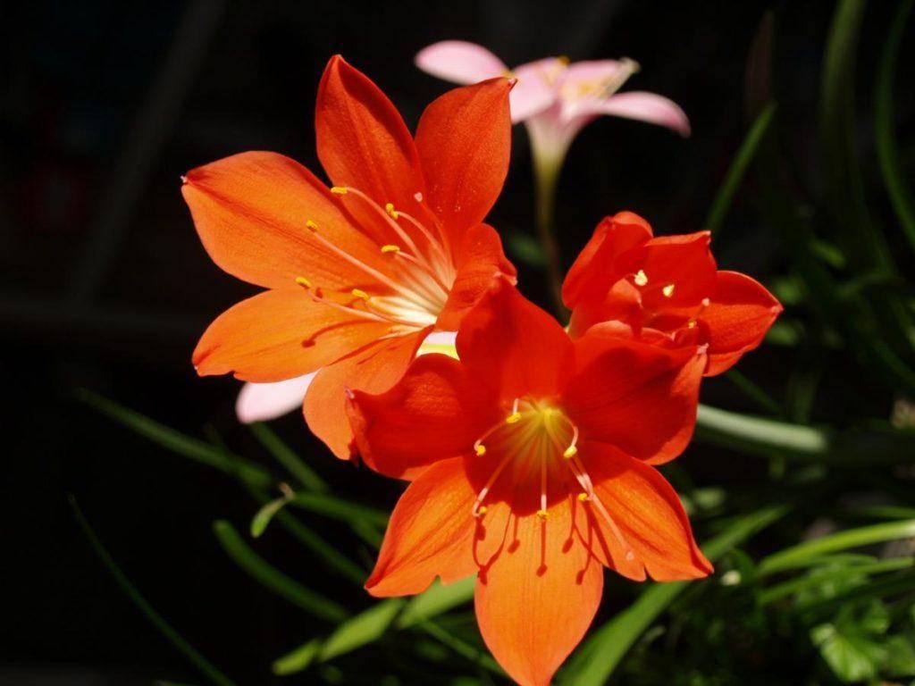 Цветки валлота — уход и выращивание в домашних условиях - pocvetam.ru