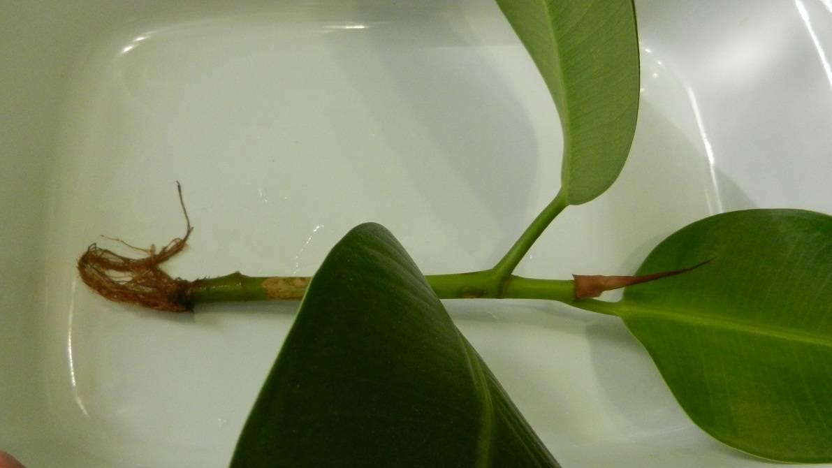 Секреты размножения фикуса отростком и другими способами. как посадить и вырастить новое растение?