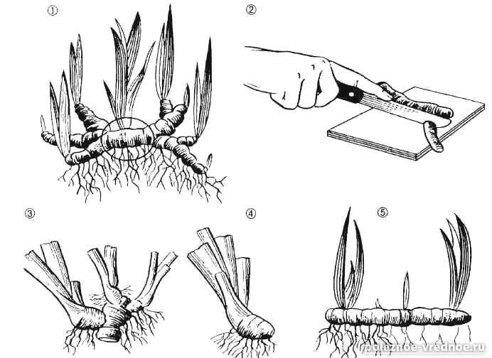 Мискантус гигантский: описание и использование