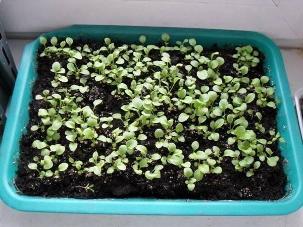 Выращивание цветов маргариток многолетних семенами: посадка и уход, когда сажать