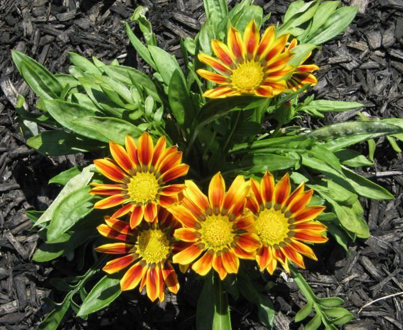 Гацании: цветы многолетние и однолетние, выращивание рассады, посадка и уход