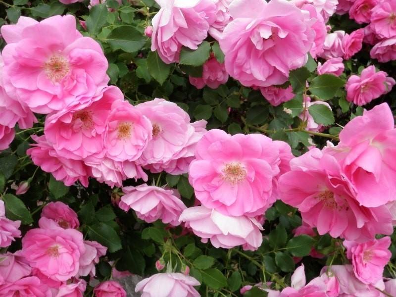 Канадские розы – нетребовательные красавицы сада