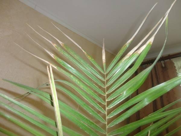 Почему хамедорея элеганс сохнет и желтеет. хамедорея уход в домашних условиях пересадка размножение. приобретение взрослой пальмы
