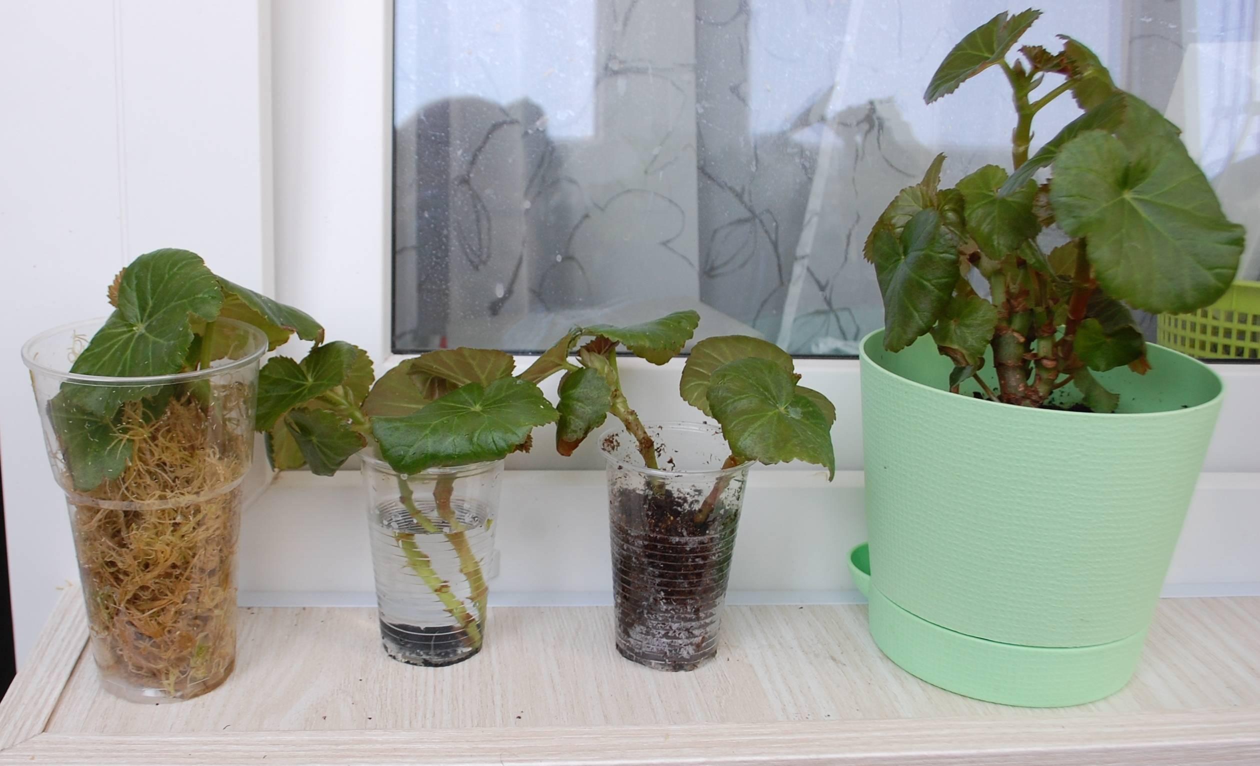 Выращивание и уход за кислицей комнатной в домашних условиях: размножение цветка