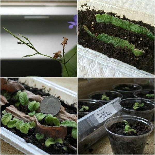 Стрептокарпусы. проблемы содержания - домашние растения