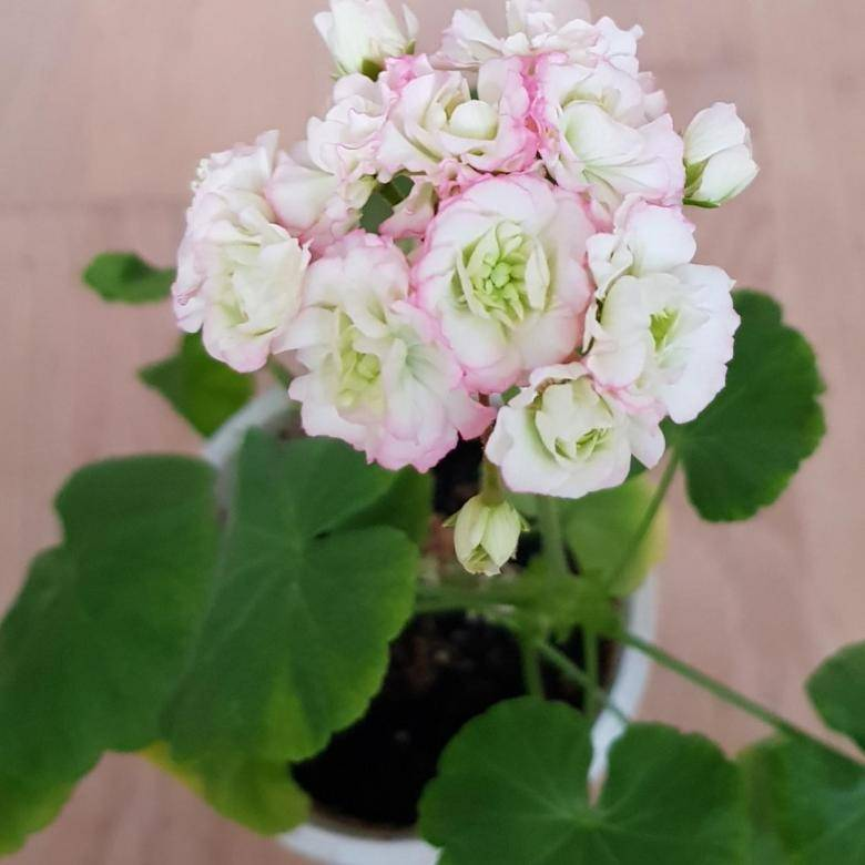 Пеларгония April Snow — выращивание герани
