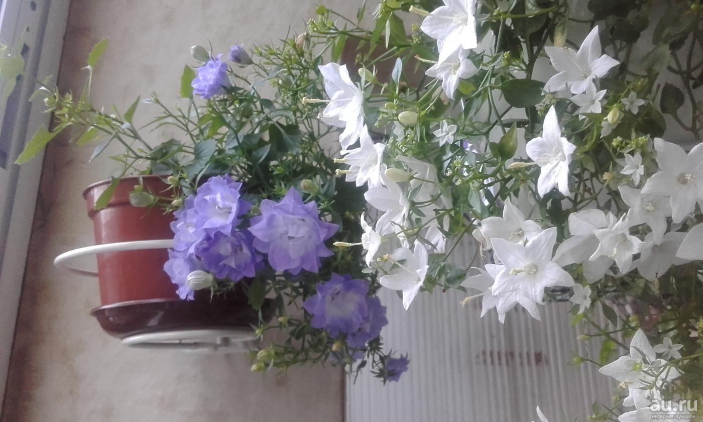 Кампанула садовая многолетняя: посадка и уход