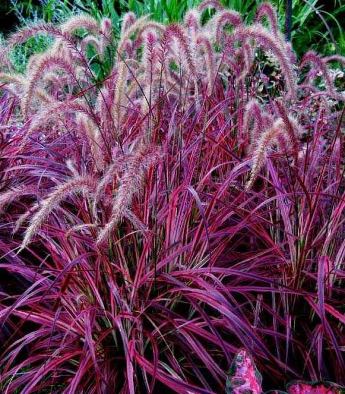 Пеннисетум: выращивание из семян в саду