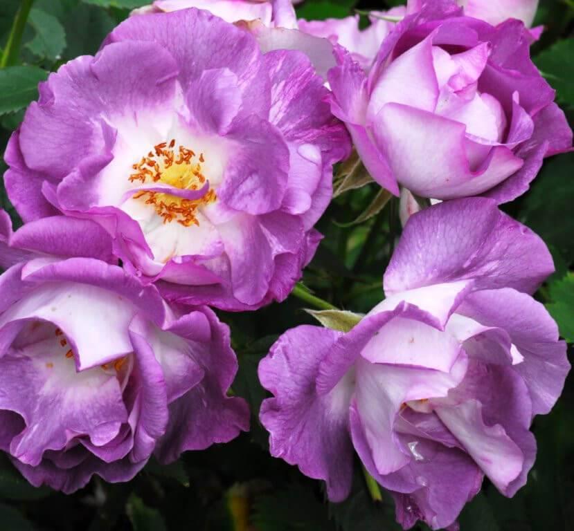 Розы сорта флорибунда: описание и особенности