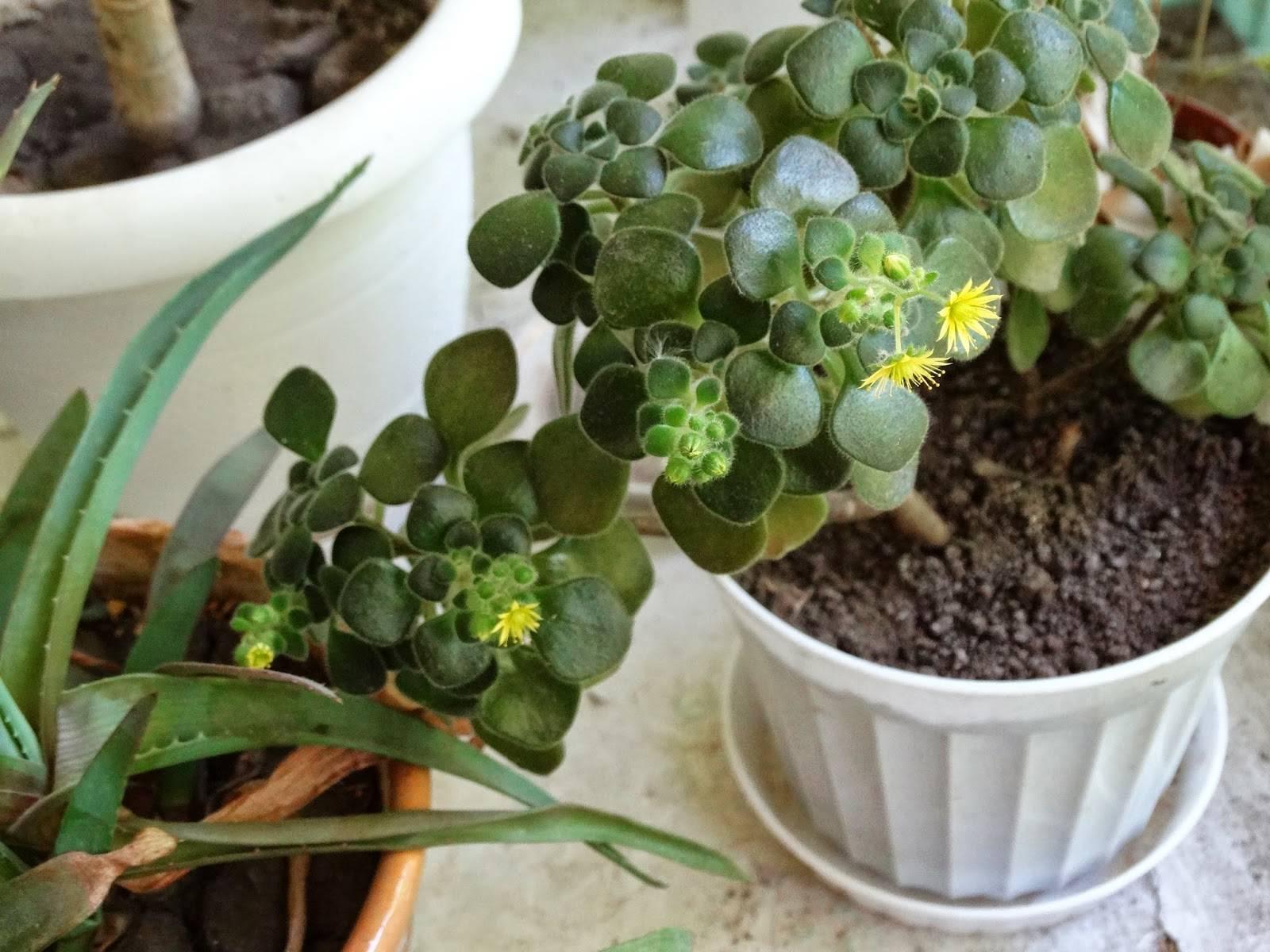 Уход за аихризоном в домашних условиях: виды дерева любви, размножение растения