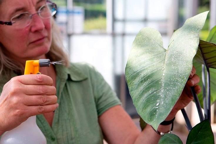 Антуриум: как лечить болезни листьев, фото, причины