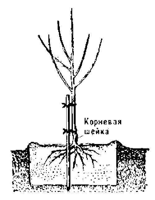 Как привить розу черенком к шиповнику