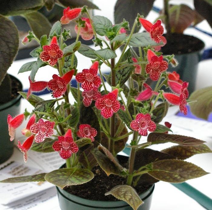 Домашние цветы с красными цветами