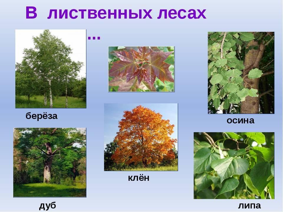 Названия деревьев и их продолжительность жизни - общая информация - 2020