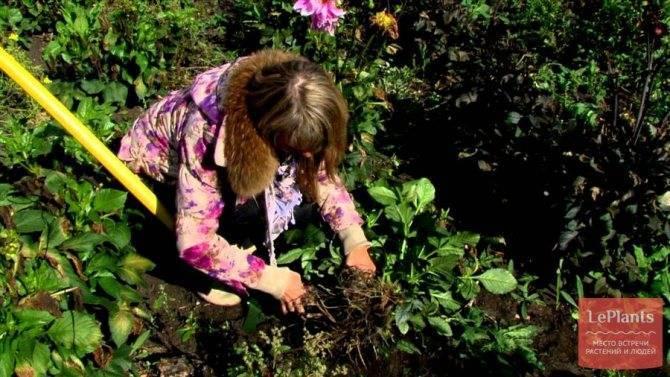 Георгины – посадка и уход, полив и удобрение
