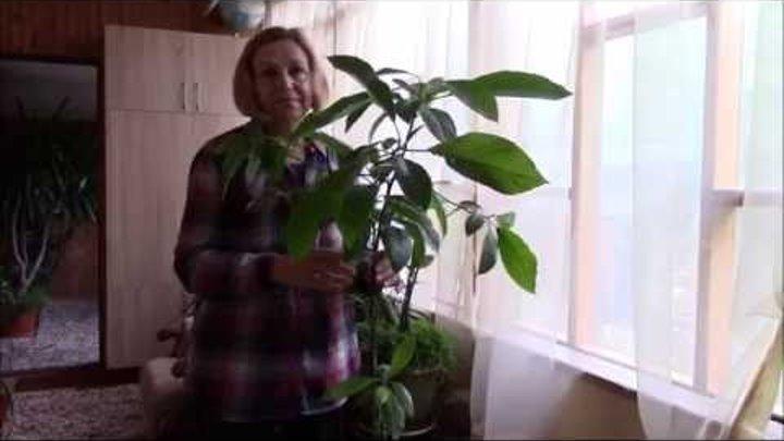 Как вырастить авокадо из косточки? выращивание и уход