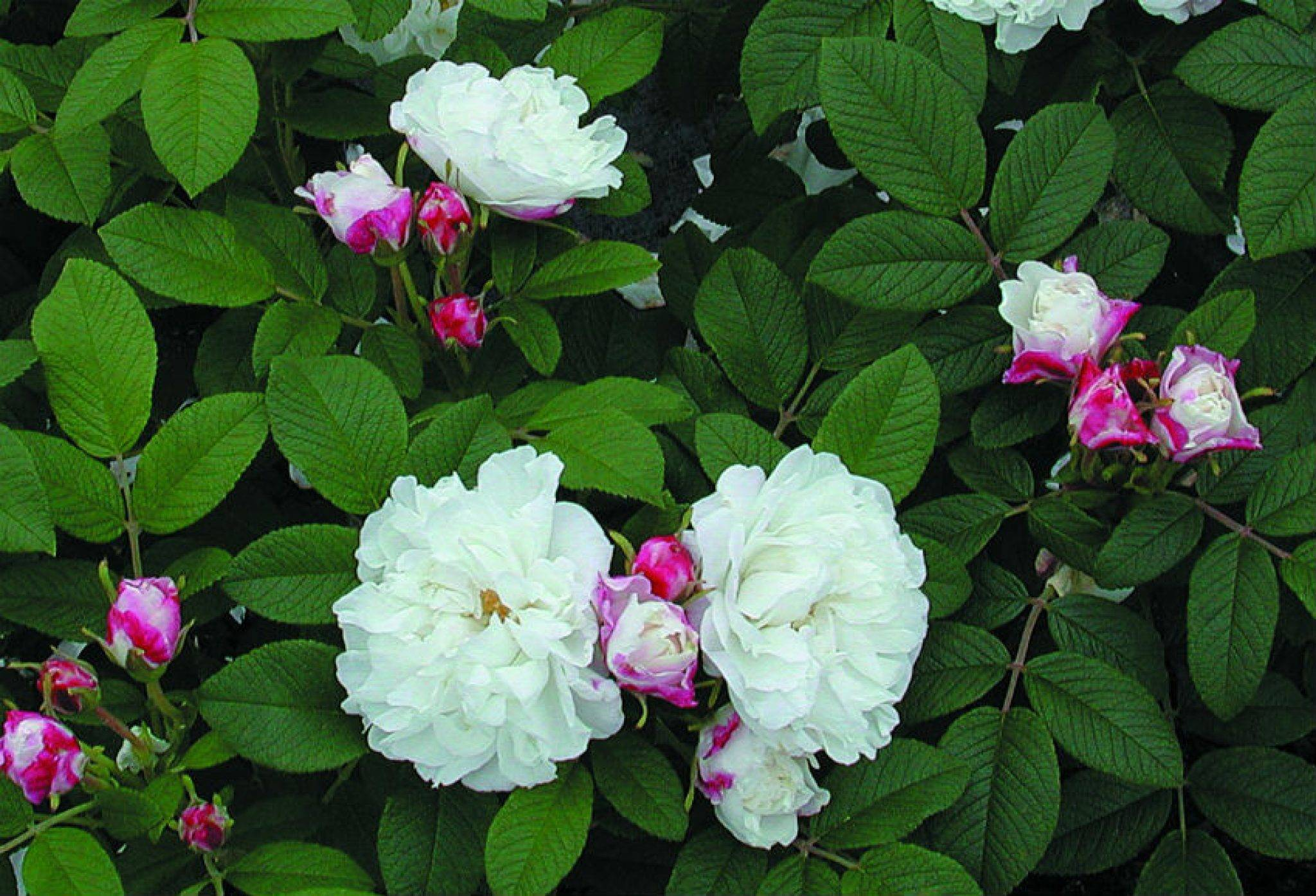 Канадские парковые розы (37 фото): «луиза багнет» и «мартин фробишер», «прайри джой» и «аделаида худлесс», «катберт грант» и «александр маккензи»