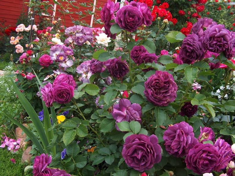 Чайно-гибридные розы (54 фото): что это такое и как обрезать их на зиму? сорта и названия таких роз, описания «блэк баккара» и «ностальжи»