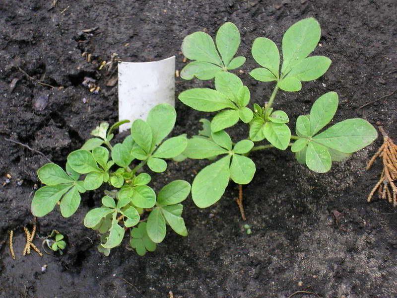 Клеома имеет простые посадку, уход и выращивание в открытом грунте, фото клеомы не оставит равнодушным