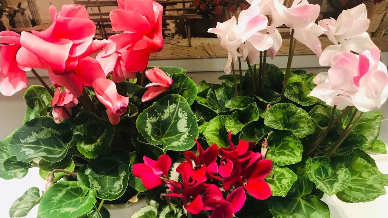 Уход за цикламеном в домашних условиях: описание растения и фото в горшке, правильная обрезка комнатного цветка, а также как смотреть за ним, чтобы не было болезней?