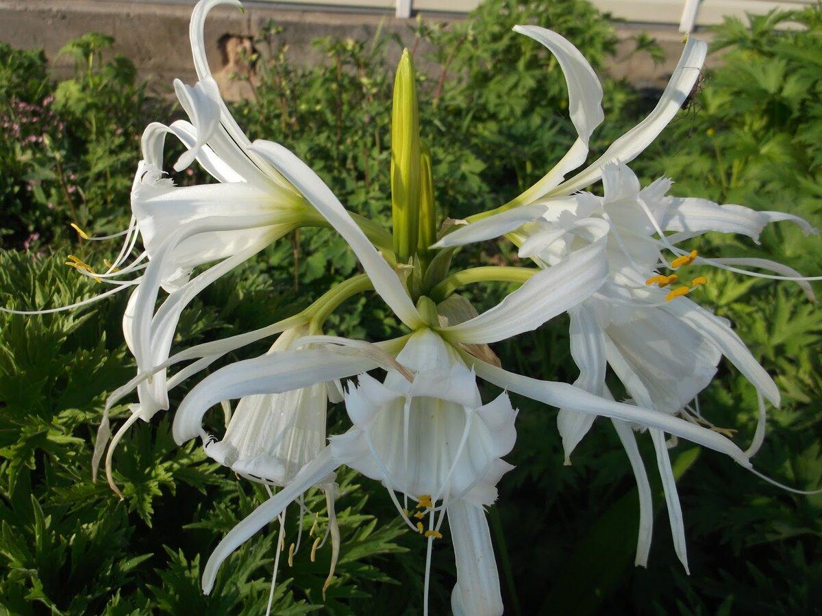 Гименокаллис (hymenocallis): посадка и уход в открытом грунте и домашних условиях, описание выращивания, фото - читайте на орхис