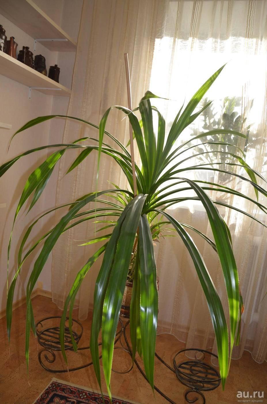 Панданус – декоративная винтовая пальма у вас дома