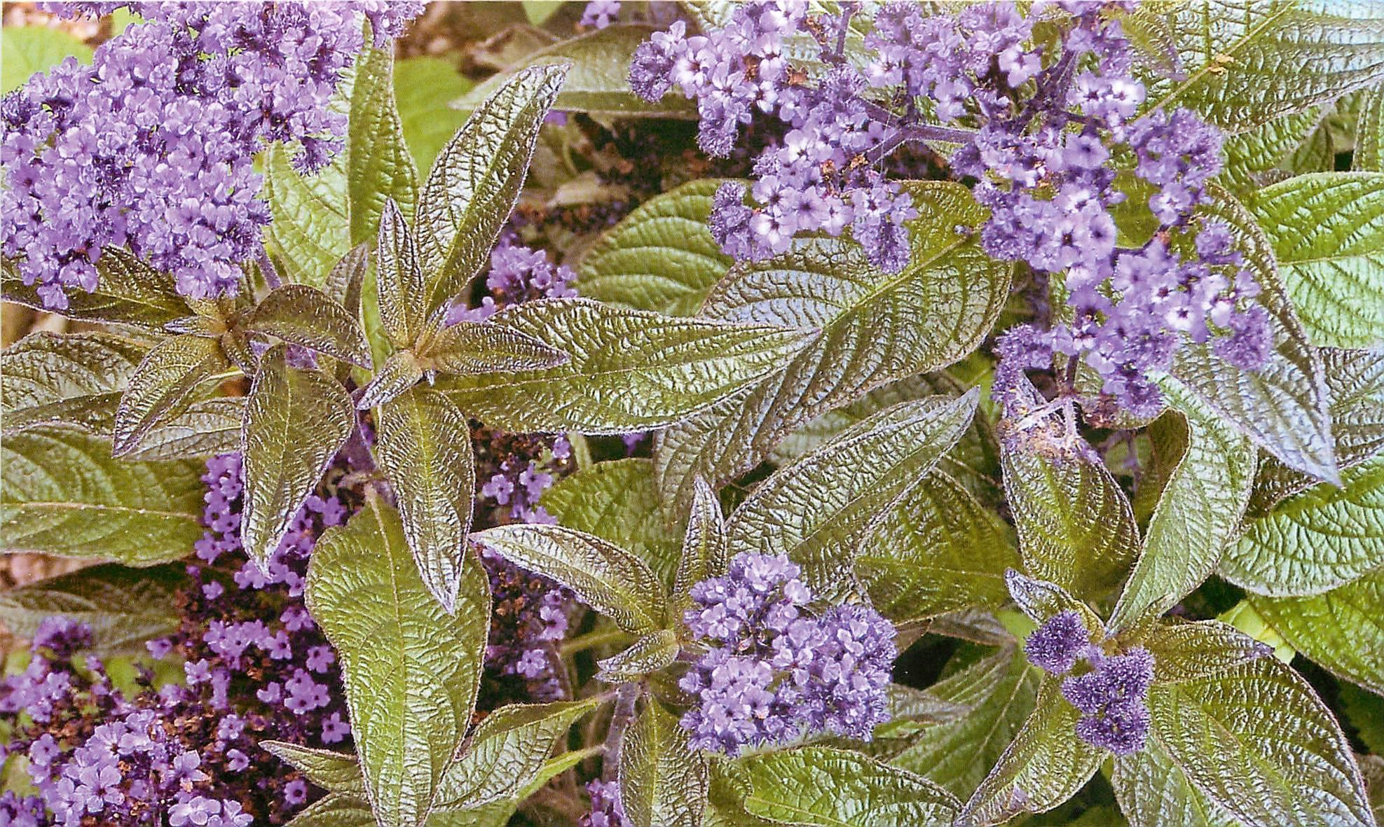 Гелиотроп: посадка и уход, фото растения в саду