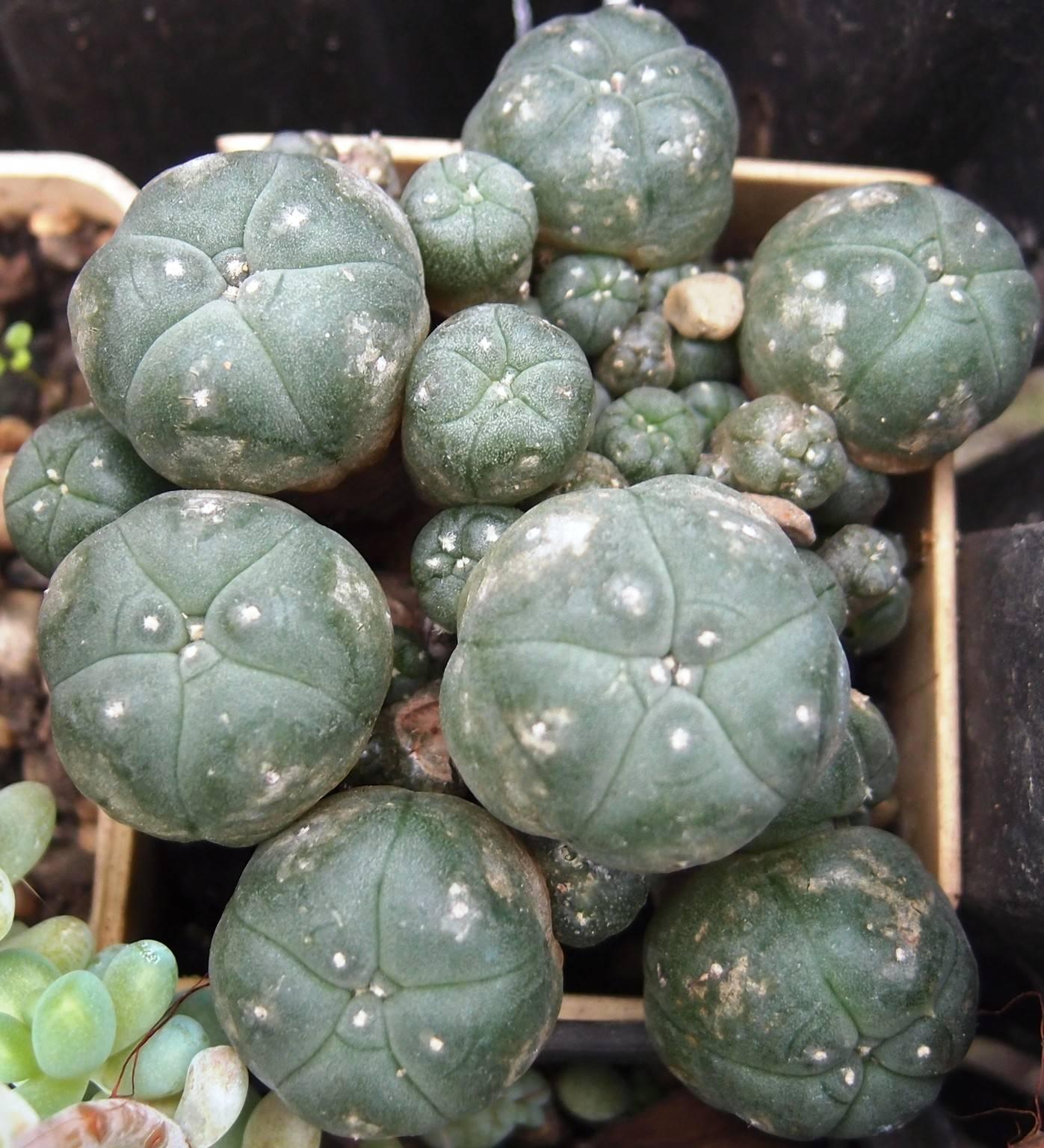 Кактус лофофора: фото и описание видов. уход за лофофорой и персадка. размножение лофофоры семенами.