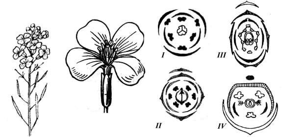 Яснотка — лечебные свойства, противопоказания, применение