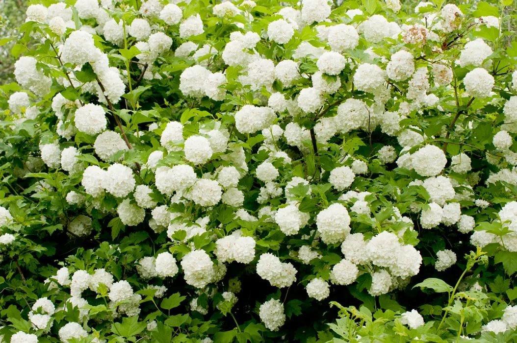 Декоративная калина бульденеж – белоснежное чудо в вашем саду. посадка и уход, размножение