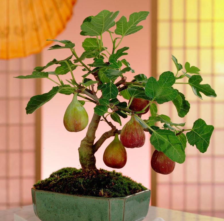 Инжир — выращивание в домашних условиях