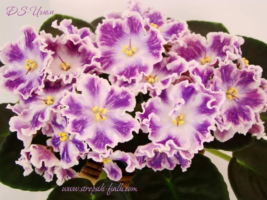 Все о фиалке ds изюм, что такое спорт цветков и листвы фантазийных сенполий
