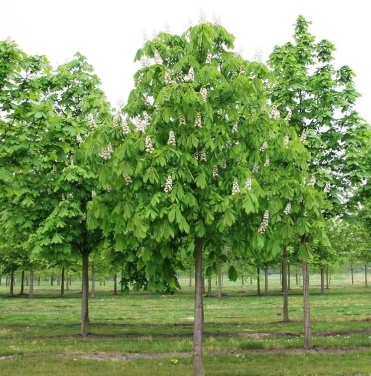 Дерево «каштан»: посадка и уход, размножение